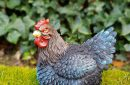 kip-zittend-blauw-3093l-bl-buiten1