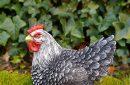 kip-zittend-grijs-3093l-g-buiten1