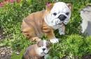 Engels-bulldog-beeld