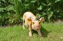 Gevlekt-hangbuikzwijn