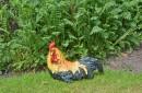 Tuinbeeld-zittende-haan